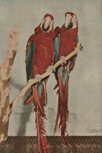 PEKING , China, 40-50s ; Zoo Animal ; Red & Blue Macaws