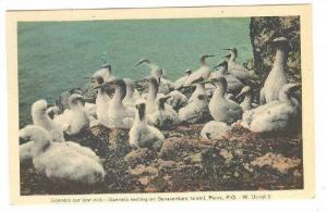 Hand-colored, Gannets nesting on Bonaventure Island, Perce, Province of Quebe...