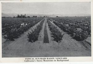 SIERRA MOUNTAINS, California, 1910-1920s; Sun-Maid Raisen Vineyard