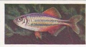 Pukka Tea Vintage Trade Card Aquarium Fish 1961 No 10 Giant Danio