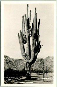 Arizona RPPC Real Photo Postcard WORLD'S LARGEST CACTUS - Blown Down Feb 1944