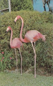 Pink Flamingos, Florida's Silver Springs, Home of World Famous Glass Bottom B...