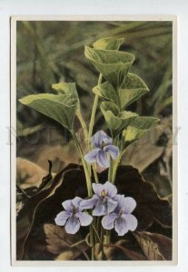 428073 Flower Viola mirabilis Vintage Sammelwerk Tobacco Card w/ ADVERTISING