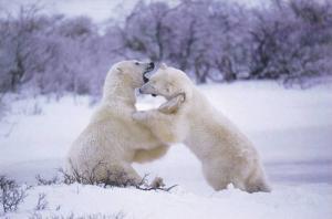 2 Polar Bears Fighting, Postcard #5