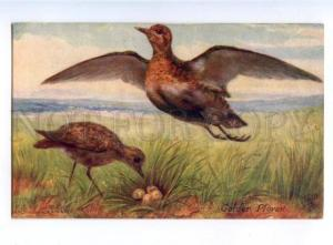178135 Bird hunting Drummond plovers TUCK #9548 vintage