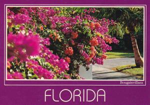 Florida Flowers Bougainvillaea in Bloom