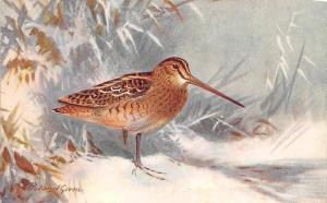Fauna: La Becassine (Capella gallinago) Oiseau marais, Swamp Bird, Roland Green