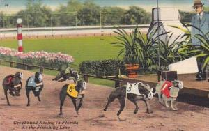 Greyhound Racing In Florida At The Finish Line 1961