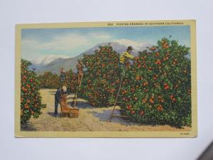 Picking Oranges in Southern California Vintage Linen Postcard