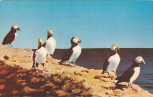Puffins, Clown of the bird sanctuary, 40-60s