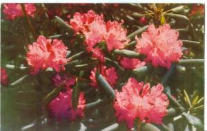 Rhododendron, Blue Ridge Parkway, Virginia-North Carolina