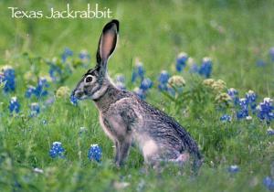 Texas Jackrabbit