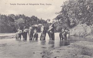 CEYLON, Sri Lanka, 1900-1910's; Temple Elephants At Katugastota River
