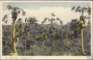 curacao, D.W.I., Papaya Trees (1930s)