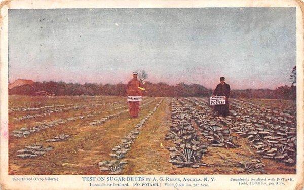 Test on Sugar Beets Angola, New York Postcard