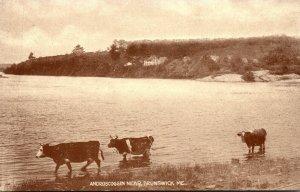 Maine Brunswick Scene On Androscoggin River With Cows
