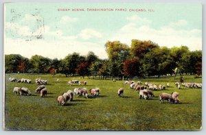 Chicago Illinois~Sheep Grazing in Washington Park~1909 SH Knox Postcard