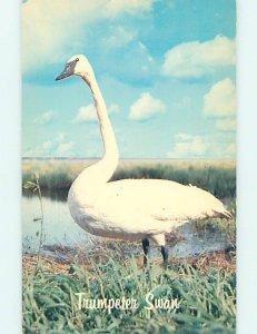 Pre-1980 TRUMPETER SWAN BIRD Grande Prairie Alberta AB AD3783