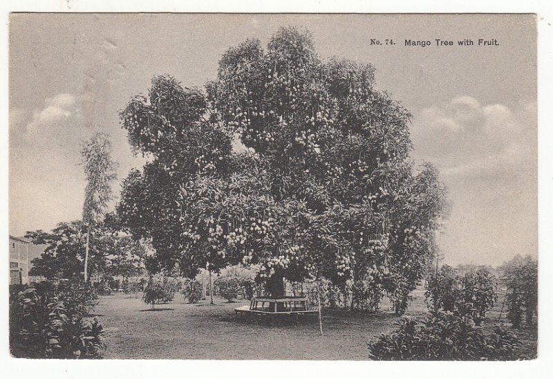 P1903, 1909 postmark jamaica view mango tree with fruit etc