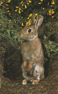Rabbit Hunting Disease Myxomatosis Postcard