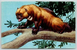 WA Weber~Wolverine~Ferocious Weasel in Tree~National Wildlife Federation~1958