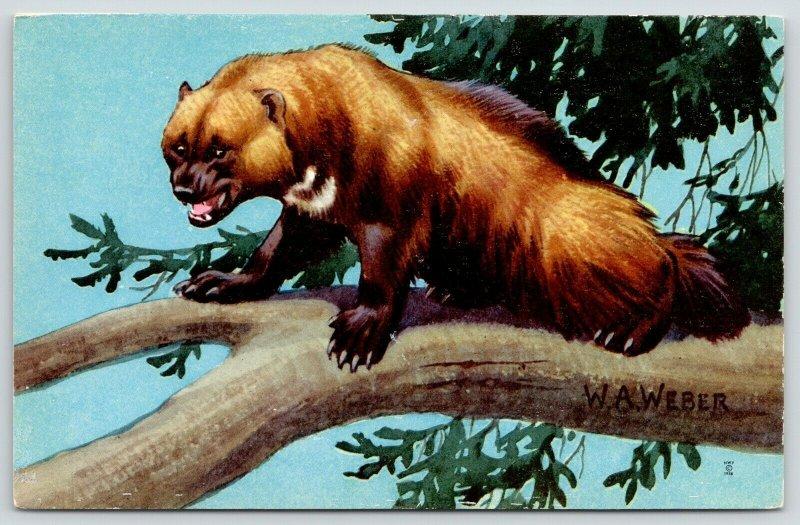 WA Weber~Wolverine~Ferocious Weasel in Tree~National Wildlife Federation~1958