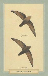 Chimney Swift Dark & Light Adult Bird Stunning Postcard