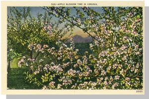 Nice Virginia/VA Postcard, Apple Blossom Time, Near Mint!