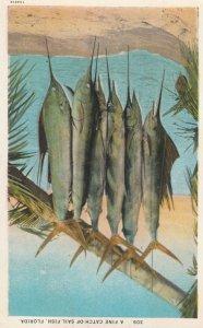 A Fine Catch of Sailfish , Florida , 1910s