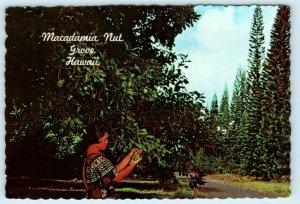 HI Hawaii  HAWAIIAN MACADAMIA NUT GROVE  1967  4x 6 Continental Postcard