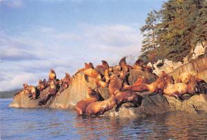 Sea Lions -