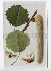 428060 Flower Populus tremula Vintage Sammelwerk Tobacco Card w/ ADVERTISING