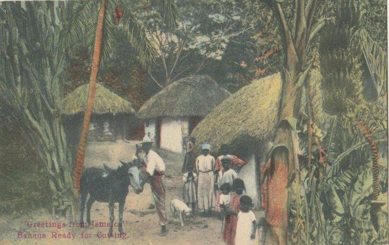 JAMAICA, 1900-10s ; Banana Ready for Cutting