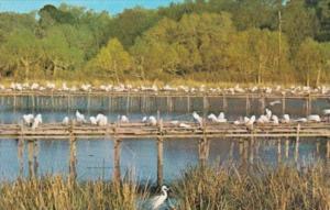 Louisiana Avery Island Bird Sanctuary Young Egrets At Jungle Gardens
