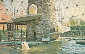 GRANBY , Quebec, Canada, 1960-80s ; Polar Bears at Zoo