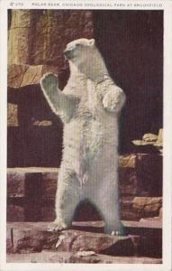 Polar Bear Chicago Zoological Park At Brookfield Illinois