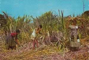 Antigua Natives Cutting Sugar Cane
