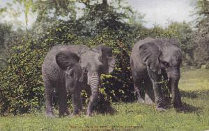 Pair of East African Elephants, New York Zoological Park, 00-10s