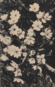 LISLE , Illinois, 1920-40s; Blossoms in Arboretum, The Morton Arboretum