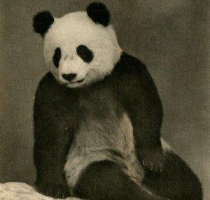 Chicago Il Campo Museo Gigante Panda Su Lin Primo Out Of Cina Cartolina Unp