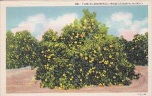 Florida Grapefruit Trees Loaded With Fruit Curteich