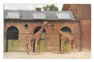 Giraffes London At the Zoo Series I Tuck Oilette Vintage Postcard