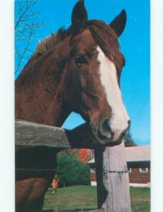 Pre-1980 MORGAN GELDING HORSE AT BALD MOUNTAIN SPRING Manchester VT E5981-12