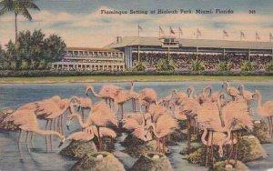 Florida Miami Flamingos Setting At Hialeah Park