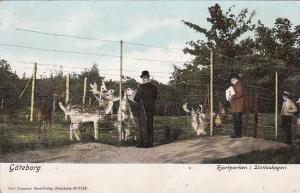 Sweden Goteborg Kiortparken i Slottskogen Reindeer In Park