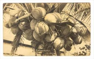 RP  Coconut bunch in tree, Philippines, 00-10s