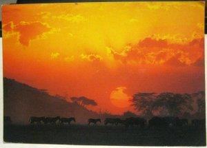 Kenya African Wildlife Zebra - posted