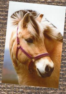 Norwegian Fjord Horse / Pony Postcard Head Study Portrait Irene Hohe Photography