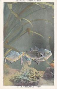 Fish Piranha New York Aquarium