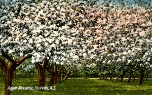Canada - Nova Scotia, Kentville. Apple Blossoms